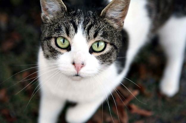 Image result for images of tabby and white cats