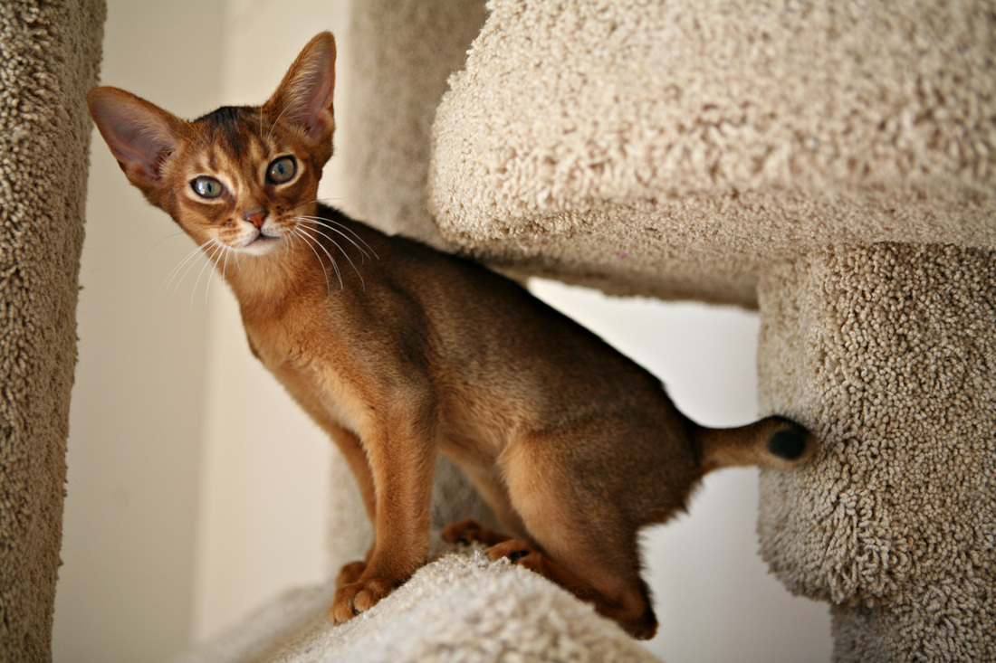 Abyssinian cat colours – Popular breeds of cats photo blog