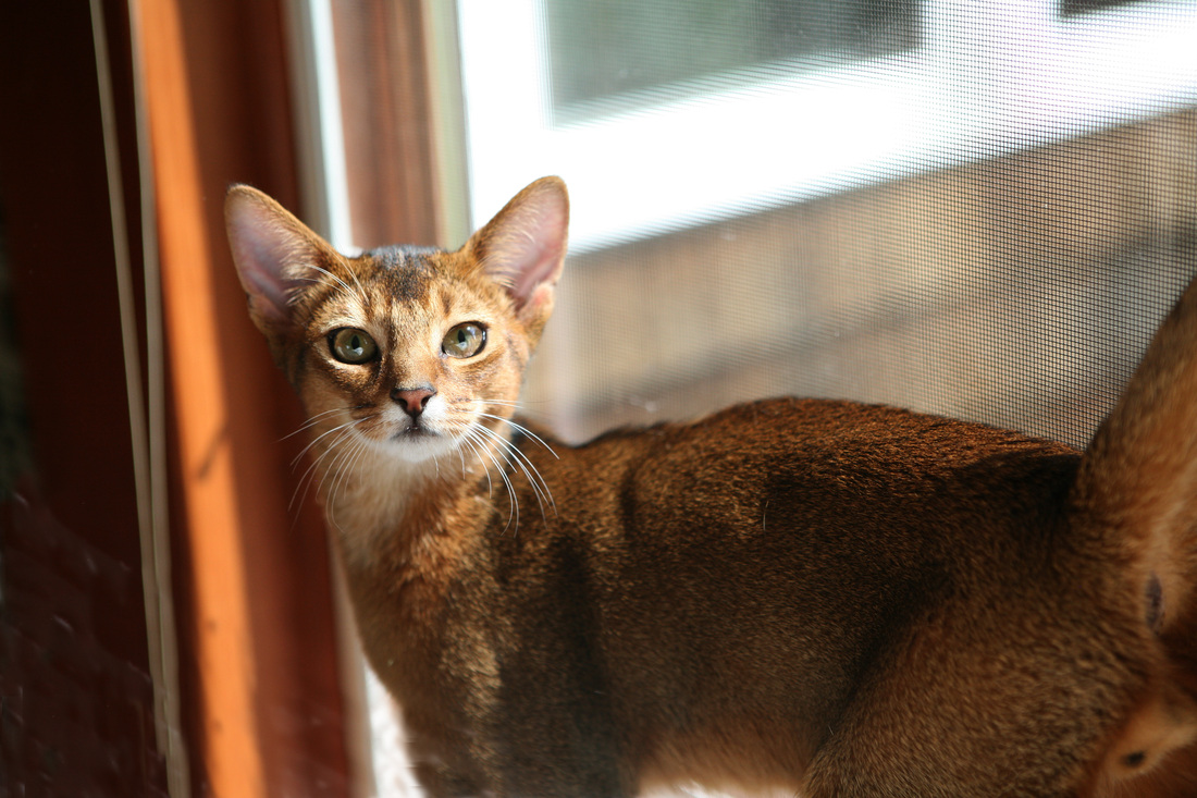 Abyssinian show cats and kittens from Abyssinian catteries and ...