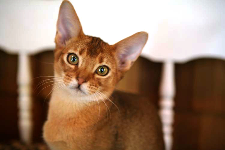 Mary -Avatar Abyssinian kitten